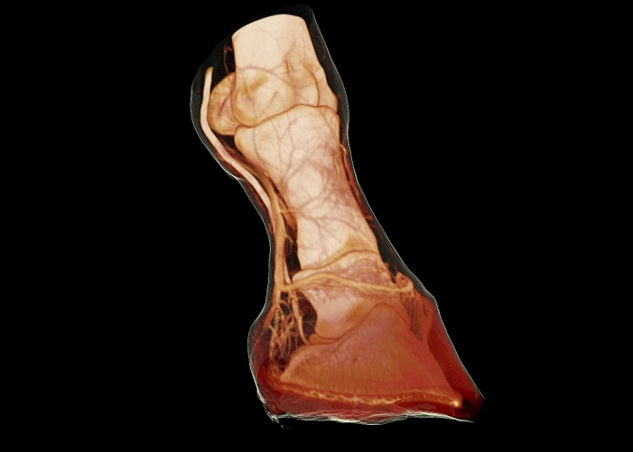 Coronal Transparent H&S - Arthritic Horse Limb.jpg