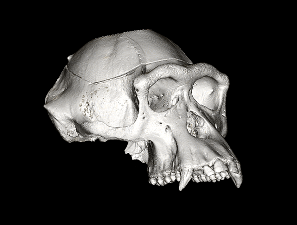 view 1 whole skull.png